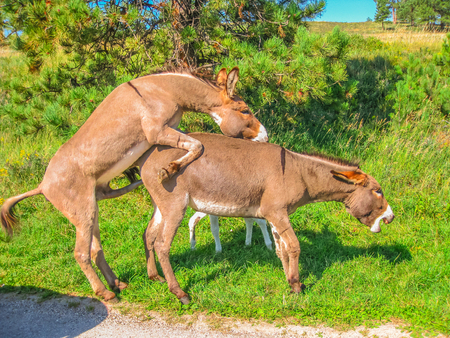 Foto de Side view of wild Donkeys mating at Black Hills National Forest, South Dakota, United States. Summer season in a sunny day. - Imagen libre de derechos