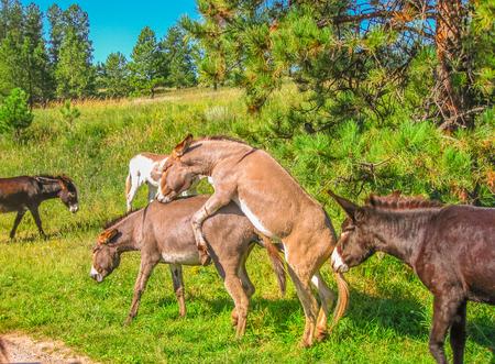 Foto de Wild Donkeys mating at Black Hills National Forest, South Dakota, United States. Summer season in a sunny day. - Imagen libre de derechos