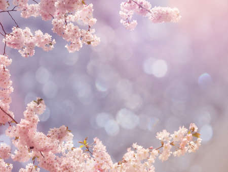 Photo for Japanese cherry tree background - Royalty Free Image