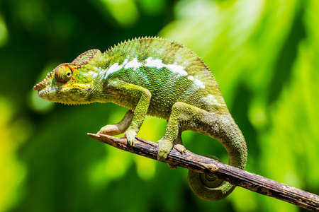 Foto de Endemic chameleon of Madagascar poses on a branch in Nosy Be. - Imagen libre de derechos