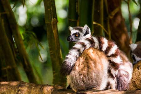 Foto de Lazy Catta lemur sited on a branch in Madagascar - Imagen libre de derechos