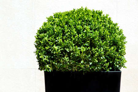 Foto per Green leafy artificial oval form bush in a black plastic pot on the background of a light stone wall. - Immagine Royalty Free