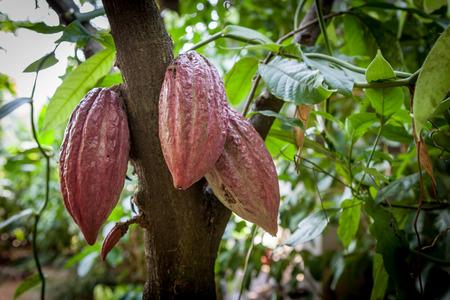 Foto de Cacao Tree (Theobroma cacao). Organic cocoa fruit pods in nature. - Imagen libre de derechos