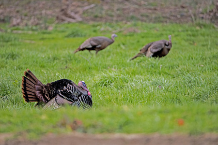 Foto de A tom turkey tries to impress two female turkeys. - Imagen libre de derechos