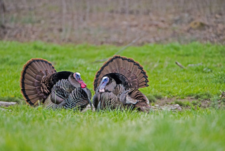 Foto de Two wild turkeys face each other with feathers displayed. - Imagen libre de derechos