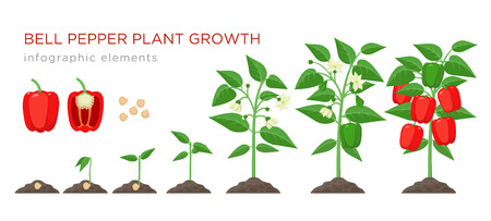 Ilustración de Sweet pepper plant growth stages infographic elements in flat design. Planting process of bell pepper from seeds, sprout to ripe vegetable, plant life cycle isolated illustration on white background. - Imagen libre de derechos