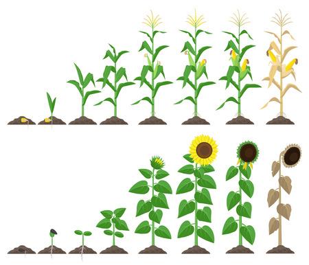 Ilustración de Corn plant and sunflower plant growing stages vector illustration in flat design. Maize and sunflower growth stages from seed to flowering and fruit-bearing Infographic elements isolated on white - Imagen libre de derechos