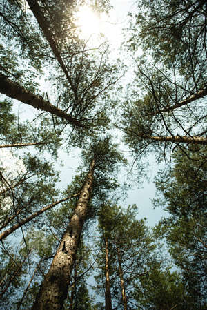 Photo for A view from the bottom to the crowns of forest trees and sky. Wallpaper for your ceiling - Royalty Free Image