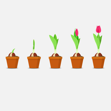 Ilustración de Process of tulip planting and growing. Plant Growth and Development. Vector illustration - Imagen libre de derechos