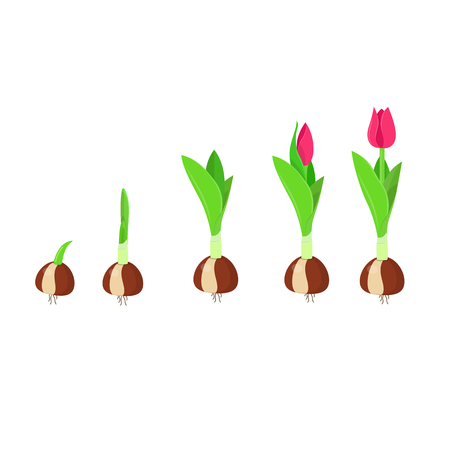 Ilustración de Tulip growth stage. Plant growth and development. Vector illustration - Imagen libre de derechos