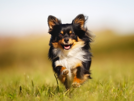 Photo pour Chihuahua dog running towards the camera in a grass field. - image libre de droit
