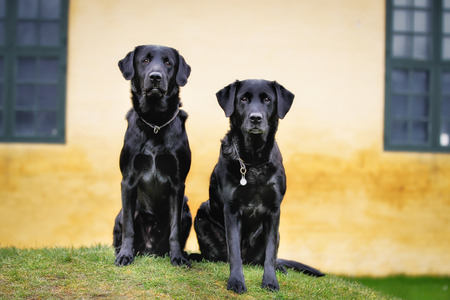 Two purebred black labradors standing up and looking at the camera.