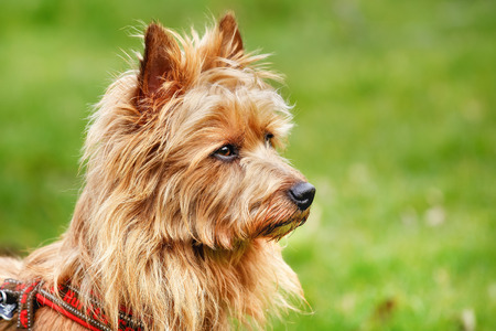 Photo pour Pured Australian Terrier dog outside on grass during spring/summer time. - image libre de droit