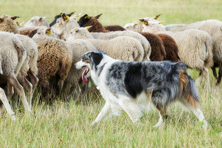 Foto de Purebred border collie herding a flock of sheep on a summer day. - Imagen libre de derechos
