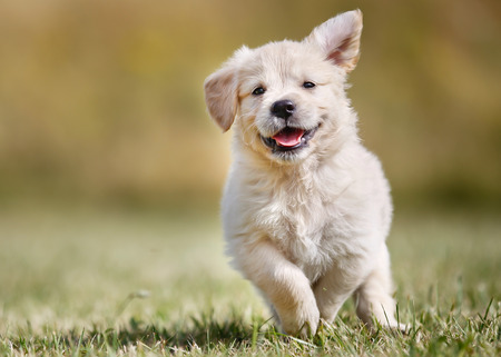Photo pour Seven week old golden retriever puppy outdoors on a sunny day. - image libre de droit