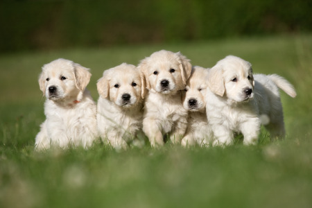 Photo pour Litter of five cute purebred golden retriever puppies outdoors in the nature on grass meadow on a sunny summer day. - image libre de droit