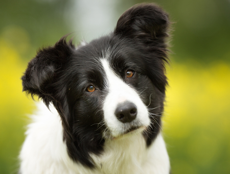 Purebred border collie dog outdoors in the nature on grass meadow on a summer day.