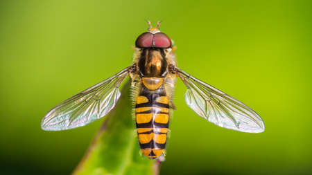 Foto de A macro shot of a hoverfly at rest on a leaf. - Imagen libre de derechos
