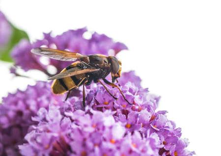 Foto de Macro shot of a large hoverfly mimicing a hornet - Imagen libre de derechos