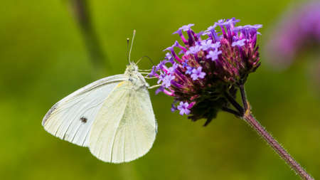 Foto de A macro shot of a large white butterfly feeding from a verbena bloom. - Imagen libre de derechos