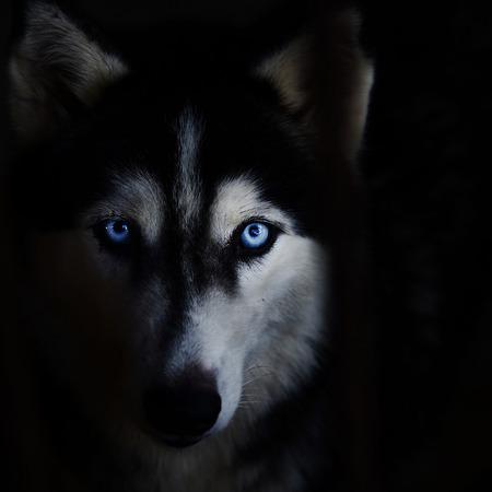 Photo pour Siberian husky face on a black background. - image libre de droit