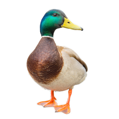 Photo for male mallard duck on white background with work paths - Royalty Free Image