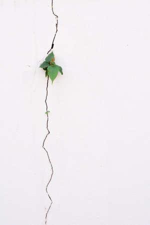 Foto de young plant growth on the old white crack wall background - Imagen libre de derechos