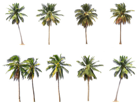 Photo for Difference of coconut tree isolated on white. - Royalty Free Image