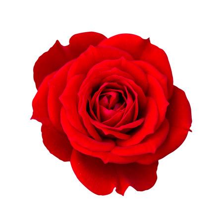 Photo pour Red rose isolated - image libre de droit