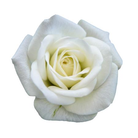Photo pour White rose isolated  - image libre de droit