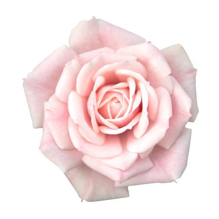 Photo pour Pink rose isolated - image libre de droit