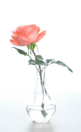 Foto de Single beautiful fresh pink rose in glass vase isolated on white background - Image - Imagen libre de derechos