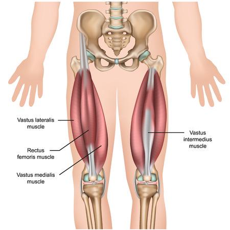 Illustrazione per quadriceps muscle anatomy 3d medical vector illustration - Immagini Royalty Free