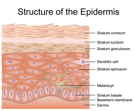 Foto per Structure of the epidermis medical vector illustration, dermis anatomy - Immagine Royalty Free