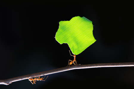 Photo for The small ants, carrying leaf in front of a black background. - Royalty Free Image