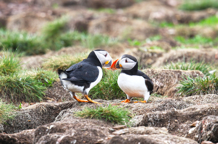 Foto de Atlantic Puffin Mating behavior, standing on nesting burrows  touching beaks, from Newfoundland, Canada. Rookery background - Imagen libre de derechos
