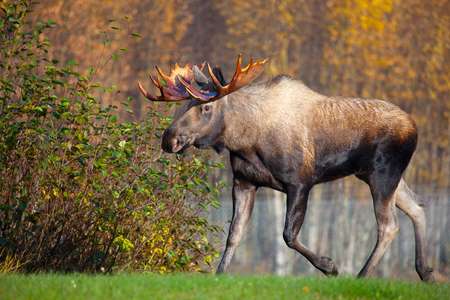 Foto de Moose Bull Running, Male, Alaska, USA - Imagen libre de derechos