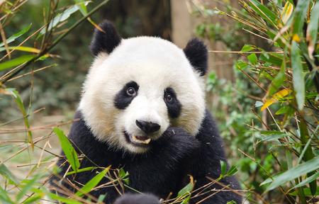Photo for Young Giant Panda Eating Bamboo, Chengdu, China - Royalty Free Image