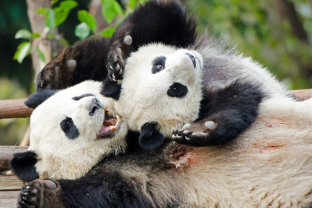 Photo pour Giant Panda Mother & cub Playing, Chengdu, China - image libre de droit