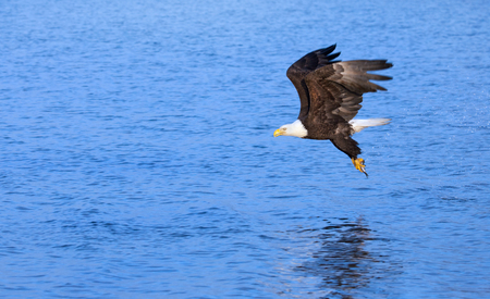 Foto de Eagle Grabbing a Fish from the Ocean, Alaska, USA - Imagen libre de derechos