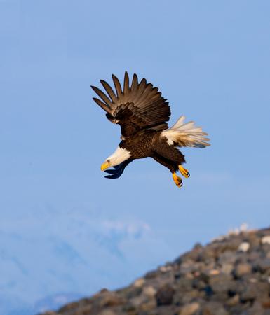 Foto de Eagle in flight, Alaska, USA - Imagen libre de derechos