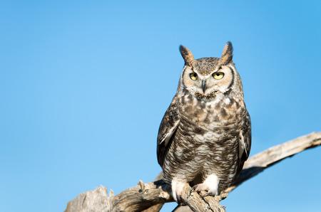 Photo for Great Horned Owl,Blue Sky Background, Arizona, USA - Royalty Free Image