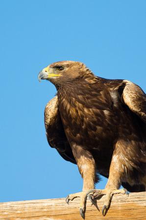 Foto de Golden Eagle, with Blue Sky. Oregon, USA - Imagen libre de derechos