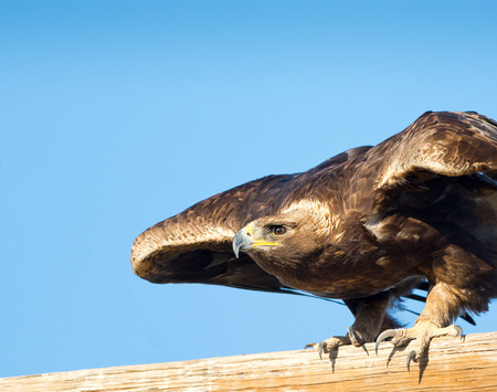 Foto de Golden Eagle, about to take off. Oregon, USA - Imagen libre de derechos