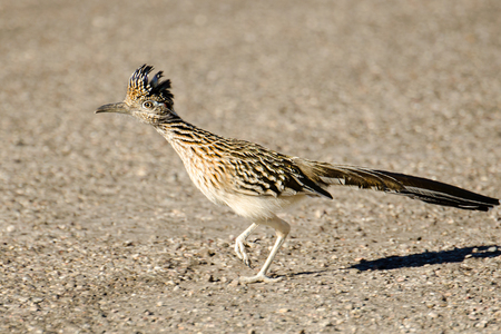 Photo pour Greater Roadrunner Bird Running, Arizona, USA - image libre de droit