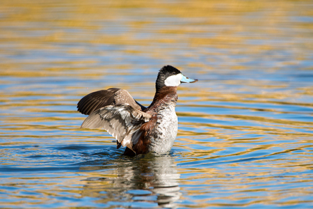 Foto de Ruddy Duck Flapping Wings, Arizona, USA - Imagen libre de derechos