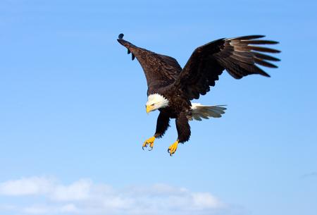 Foto de Bald Eagle in Flight with Blue Sky. Alaska - Imagen libre de derechos