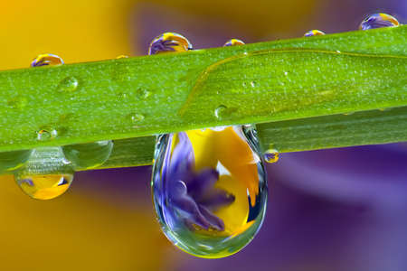 Photo pour Wild flowers refracted in water droplets on a single blade of grass - image libre de droit