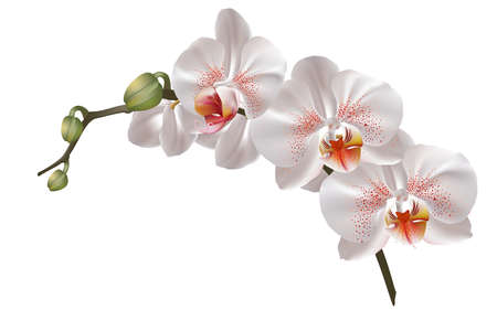 Illustration pour White orchid flowers - image libre de droit