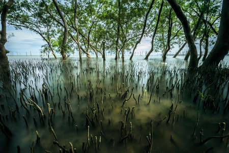 Photo for mangrove forest tropical landscape scene in thailand, long exposure shot - Royalty Free Image